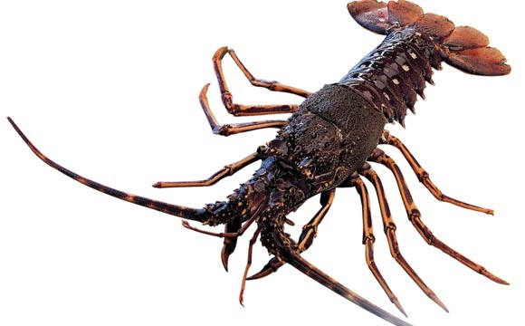 Languste - Spiny Lobster